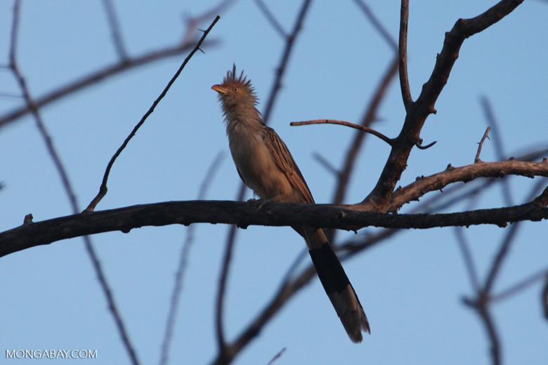 Guira Cuckoo (Guira guira) [brazil_0730]