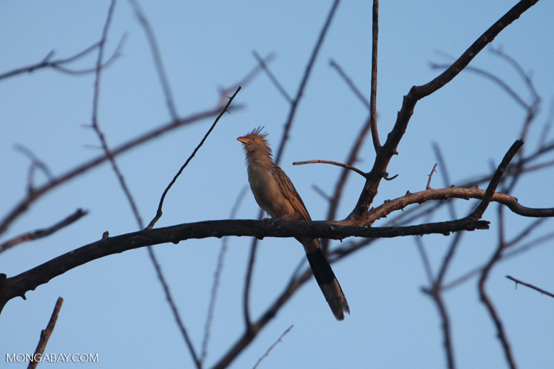 Guira Cuckoo (Guira guira) [brazil_0731]