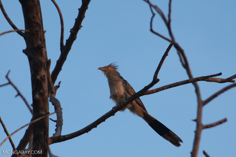 Guira Cuckoo (Guira guira) [brazil_0732]