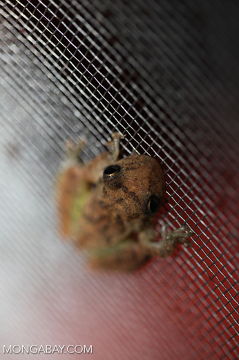 Greenish brown frog [brazil_0736]
