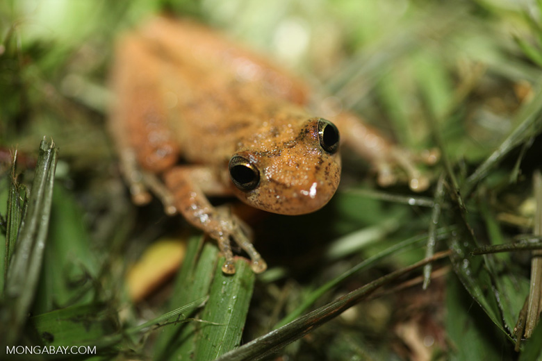 Greenish brown frog [brazil_0738]