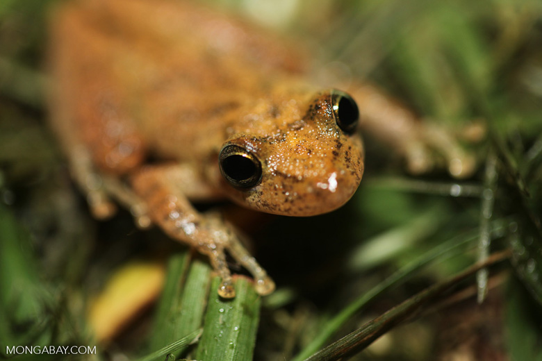 Greenish brown frog [brazil_0739]