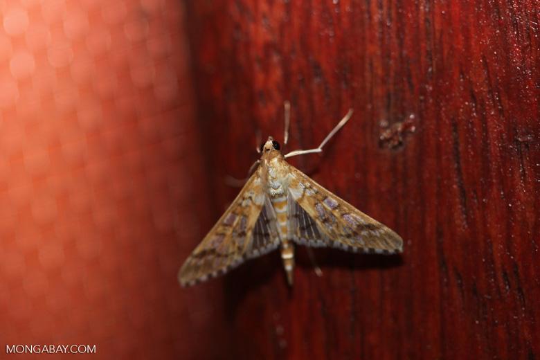 Moth [brazil_0741]