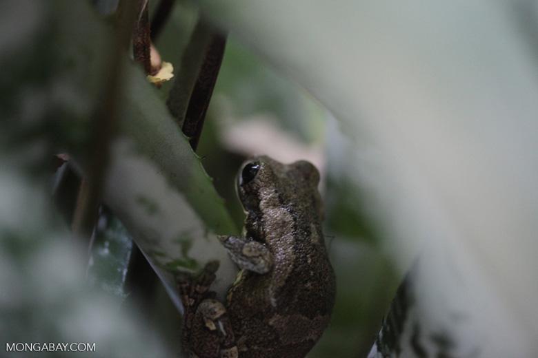 Mottled tree frog [brazil_0743]