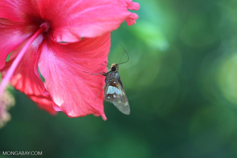 Brown skipper butterfly [brazil_0748]