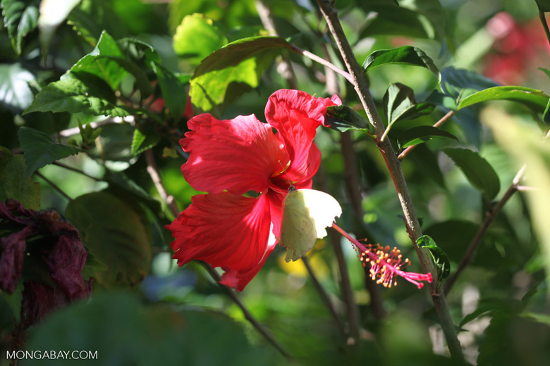 Yellow butterfly on a red hibiscus