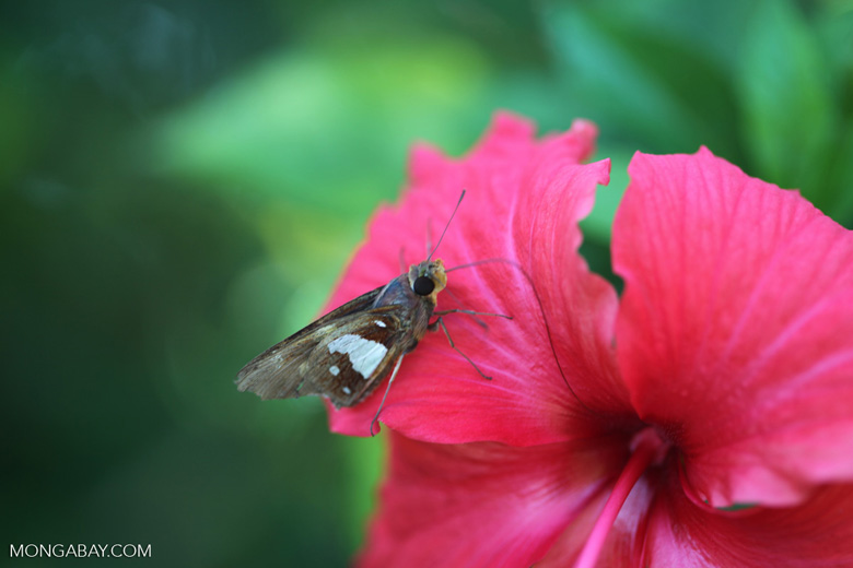 Brown skipper butterfly on a red hibiscus