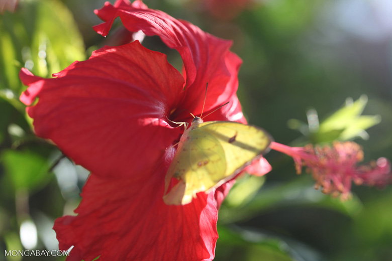 Yellow butterfly on a red hibiscus flower