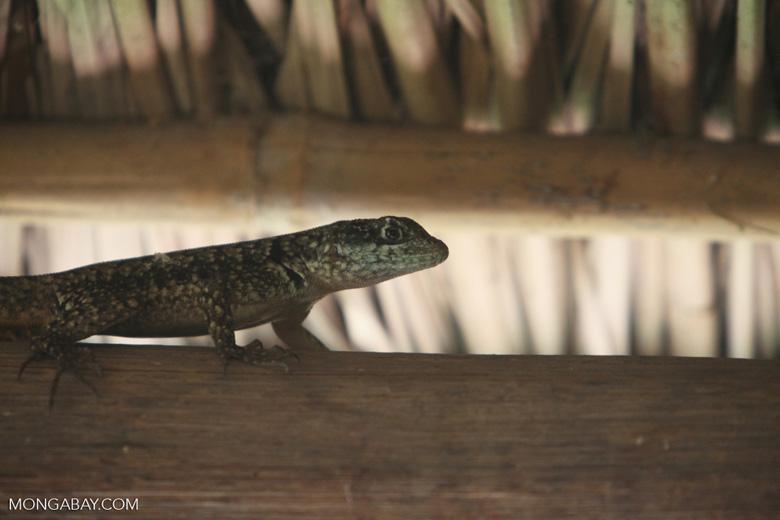 Spiny lizard [brazil_0851]
