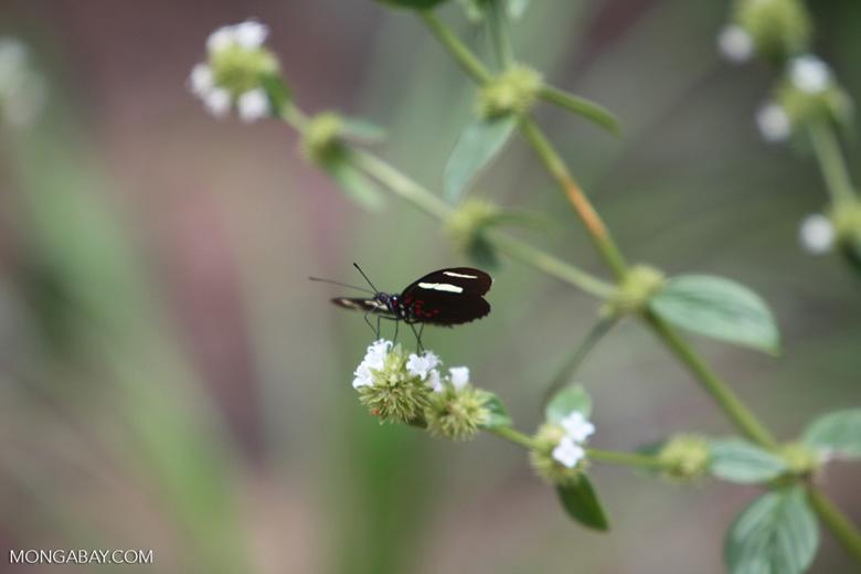 Postman butterfly [brazil_0854]