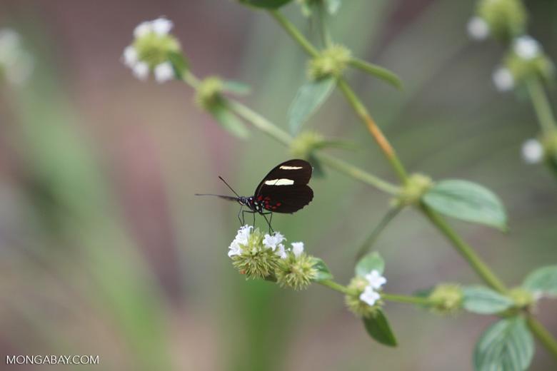 Postman butterfly [brazil_0855]