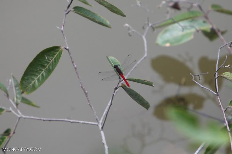 Red skimmer (family Libellulidae)