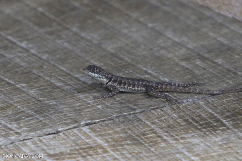 Spiny lizard [brazil_0858]