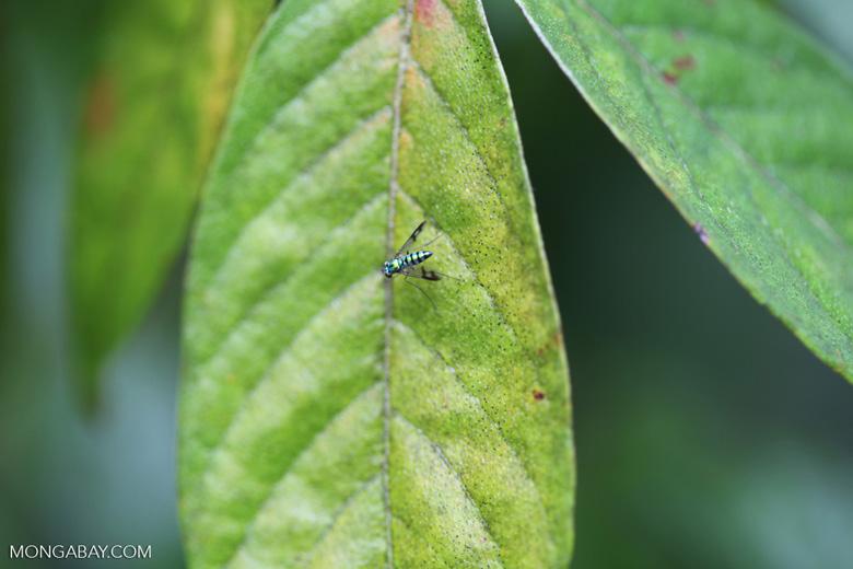 Metallic green fly [Long-legged Fly, family Dolichopodidae] [brazil_0862]