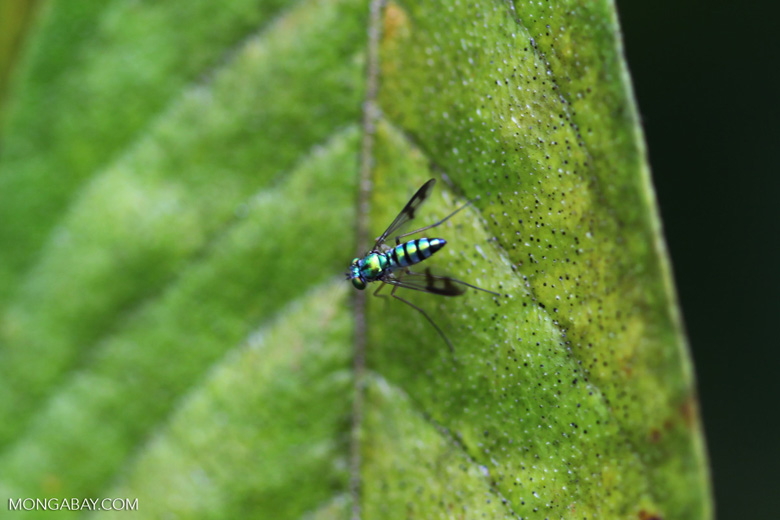 Metallic green fly [Long-legged Fly, family Dolichopodidae] [brazil_0864]