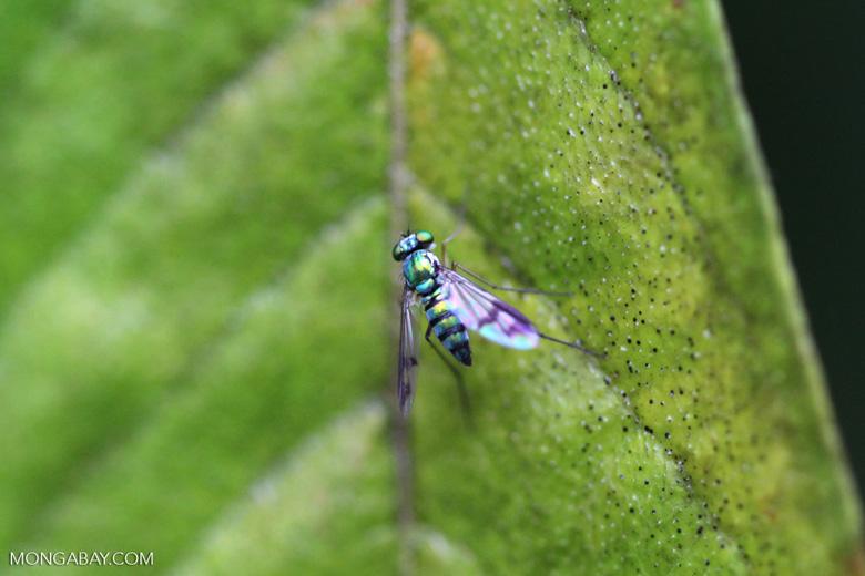 Metallic green fly [Long-legged Fly, family Dolichopodidae]