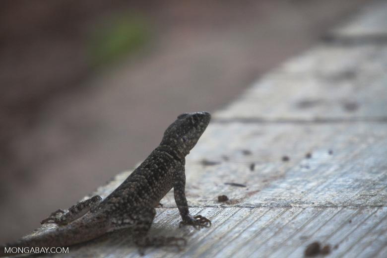Spiny lizard [brazil_0870]