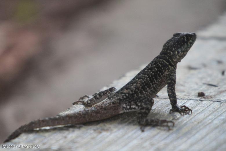 Spiny lizard [brazil_0871]
