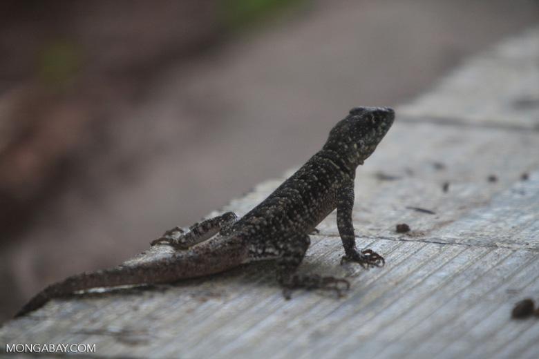 Spiny lizard [brazil_0872]