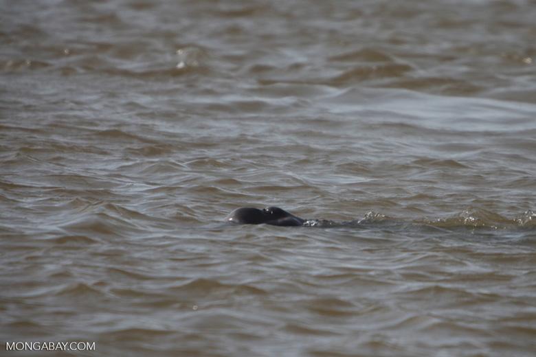 Amazon river dolphin [brazil_0878]
