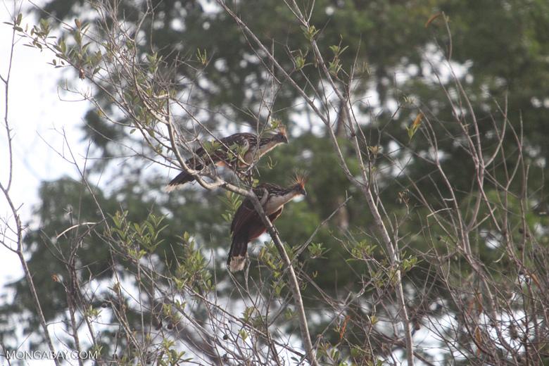 Hoatzin (Opisthocomus hoazin) [brazil_0882]