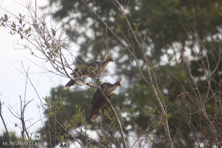 Hoatzin (Opisthocomus hoazin) [brazil_0883]