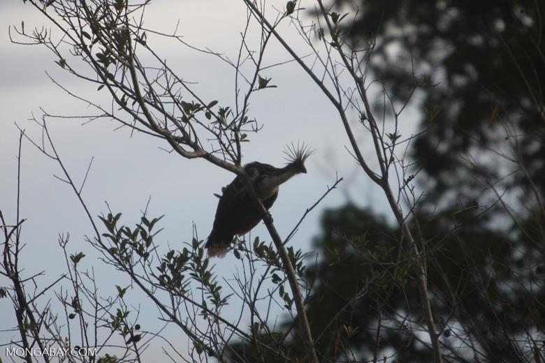 Hoatzin (Opisthocomus hoazin) [brazil_0886]