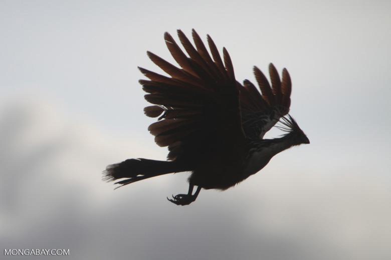 Hoatzin in flight