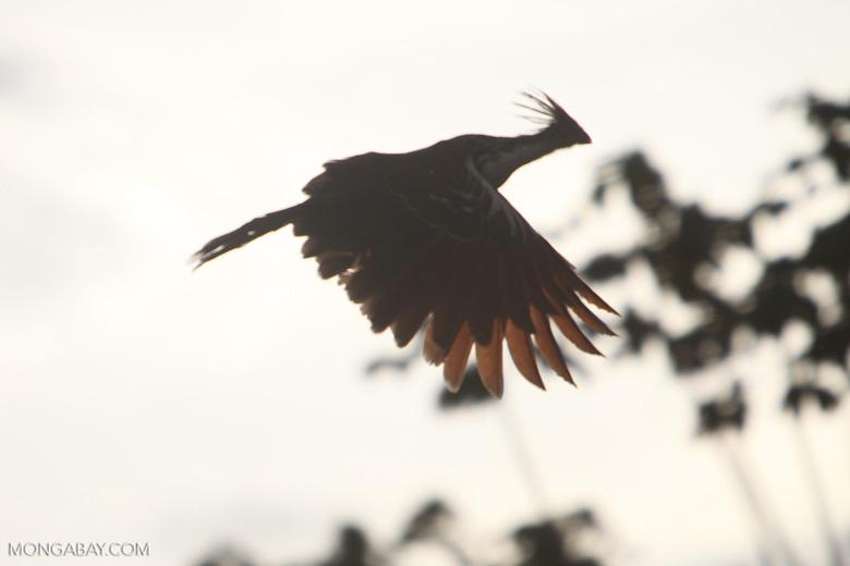 Hoatzin in flight [brazil_0890]