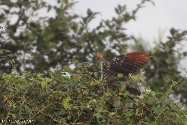 Hoatzin (Opisthocomus hoazin) [brazil_0894]