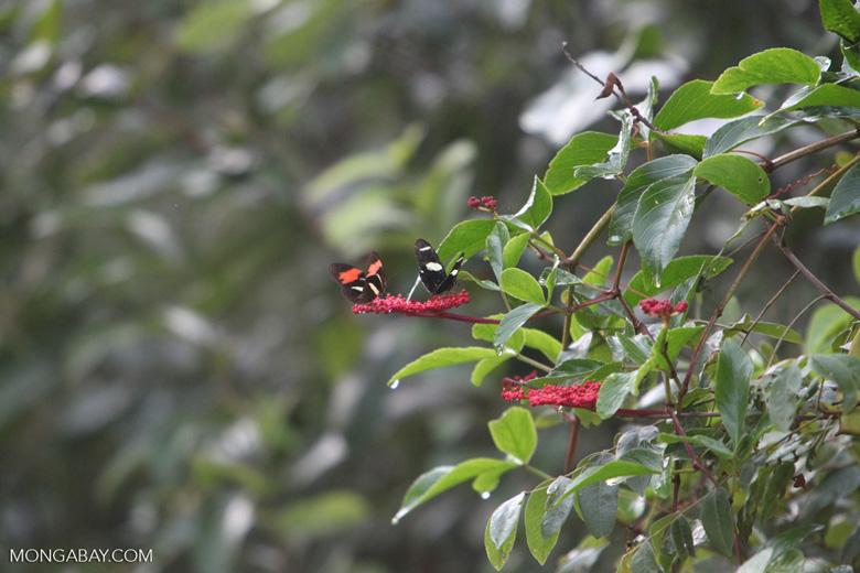 Postman butterfly [brazil_0911]