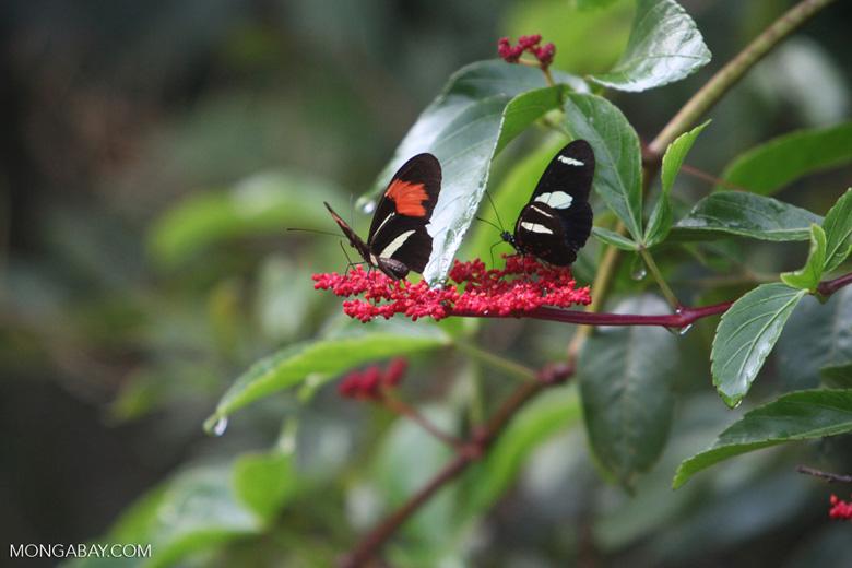 Postman butterfly [brazil_0912]