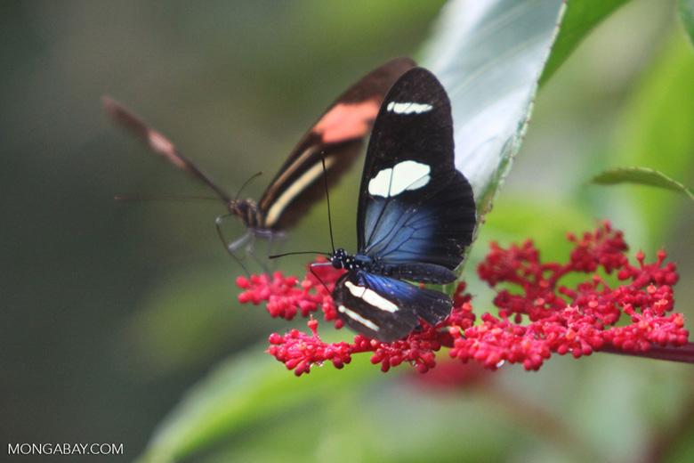 Postman butterfly [brazil_0914]