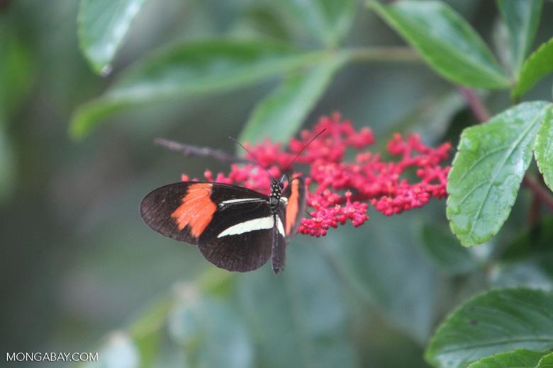 Postman butterfly [brazil_0916]