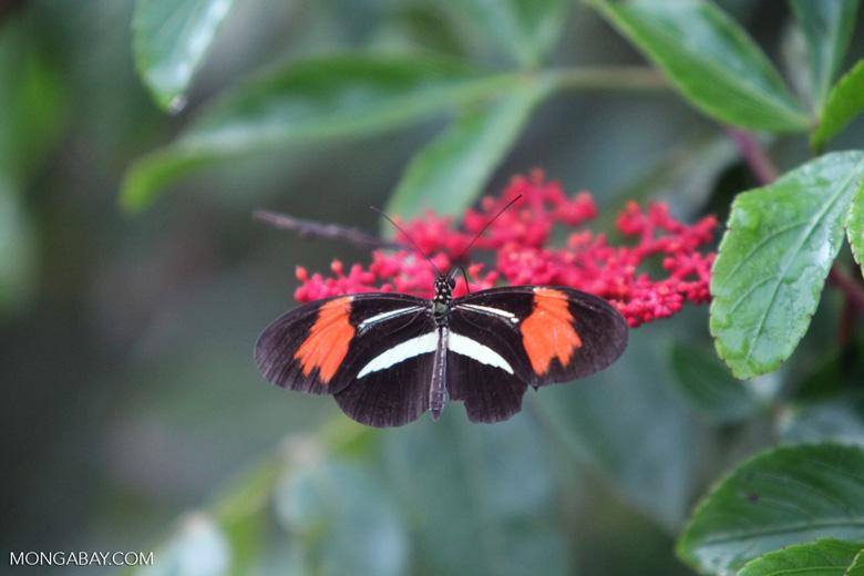 Postman butterfly [brazil_0917]