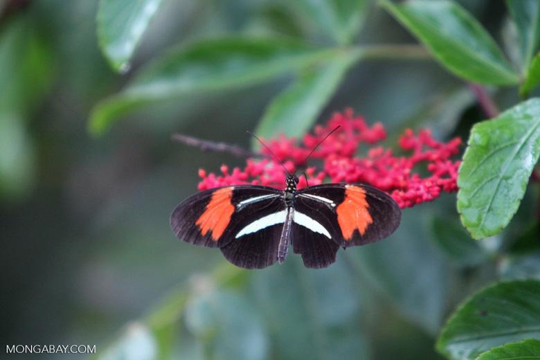Postman butterfly [brazil_0918]
