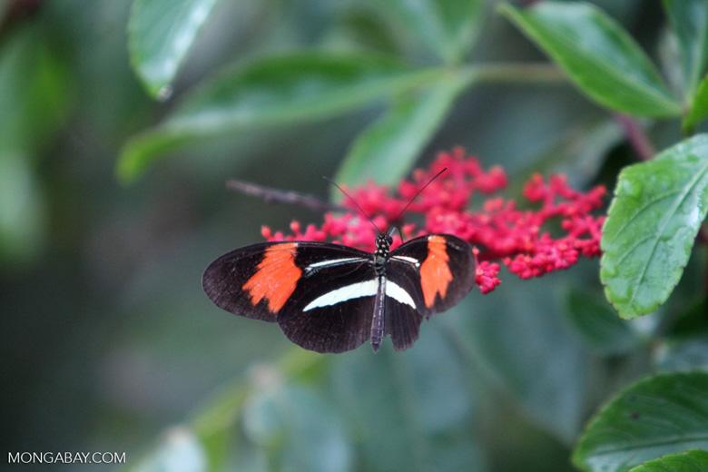Postman butterfly [brazil_0919]