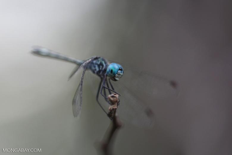 Blue-eyed skimmer (family Libellulidae)