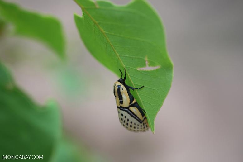 Yellow, white, and black moth [brazil_0938]