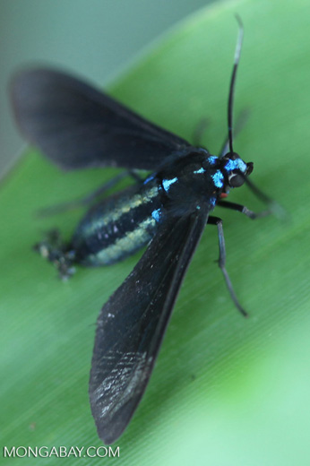 Turquoise-headed black flying insect