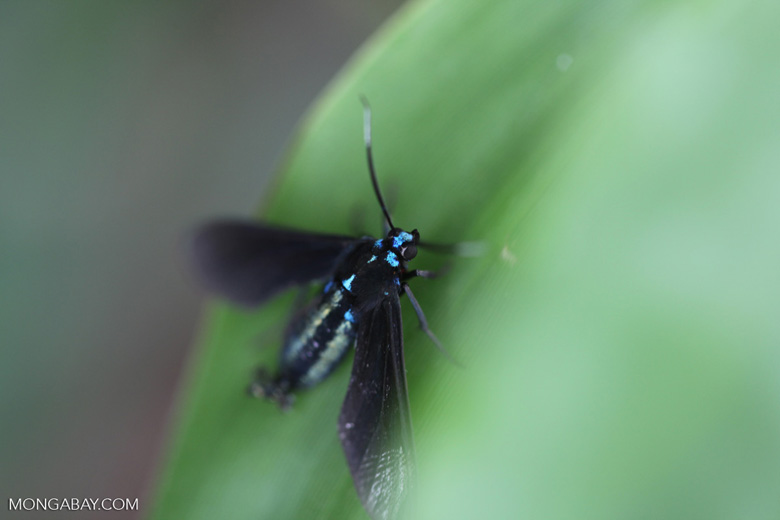 Turquoise-headed black flying insect [brazil_0963]