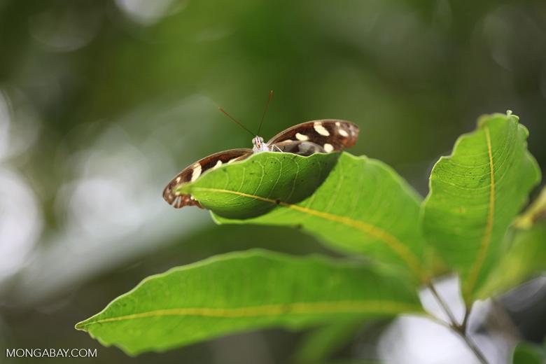Butterfly peeking over a leaf [brazil_0972]