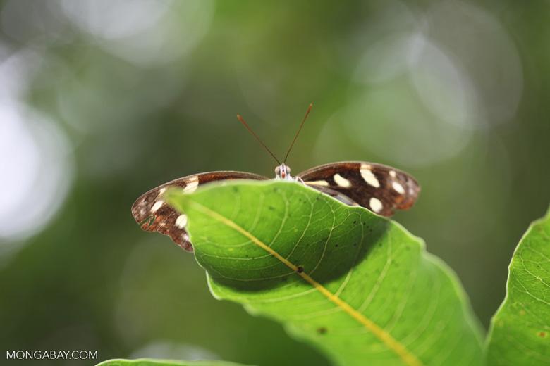 Butterfly peeking over a leaf [brazil_0973]