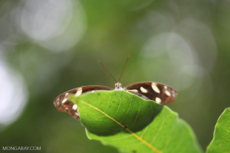 Butterfly peeking over a leaf [brazil_0974]