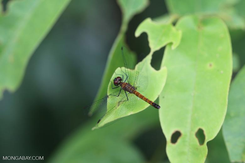 skimmer (family Libellulidae)
