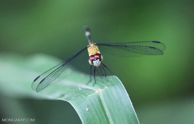 Red-eyed skimmer (family Libellulidae) [brazil_0982]