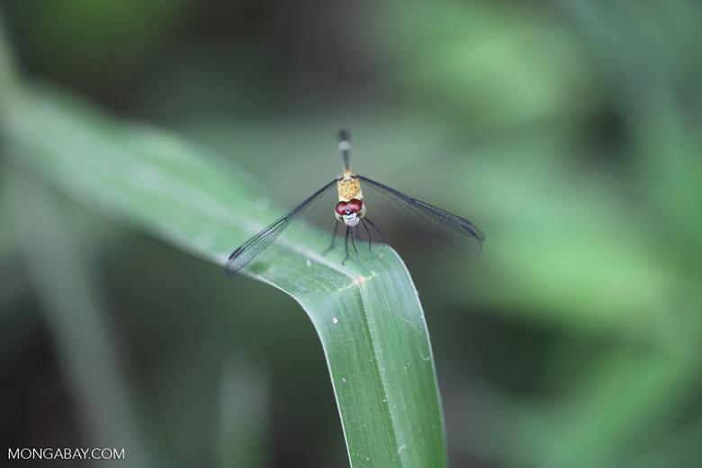 Red-eyed skimmer (family Libellulidae) [brazil_0984]