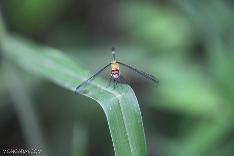 Red-eyed skimmer (family Libellulidae) [brazil_0985]