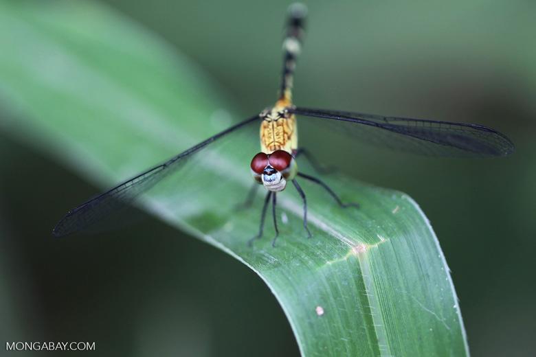 Red-eyed skimmer (family Libellulidae) [brazil_0992]