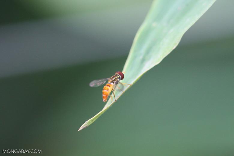 Biting fly [brazil_0994]